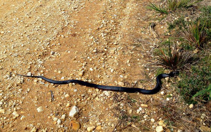Le serpent noir à collier rouge