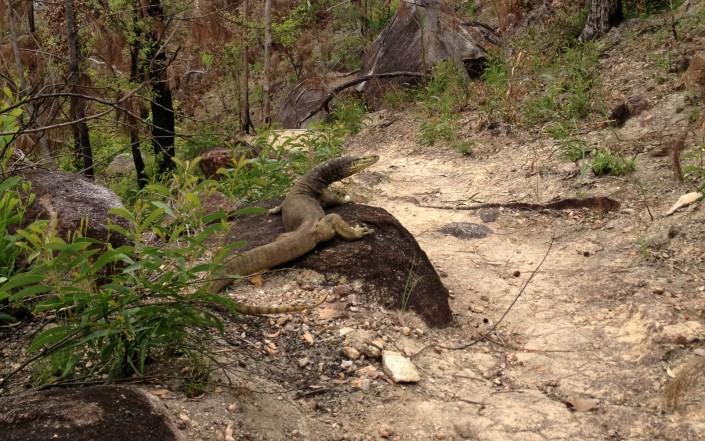 Goanna, le varan d'Australie